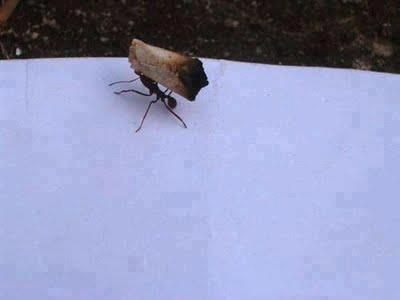 ant carrying roach