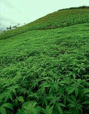 weed field